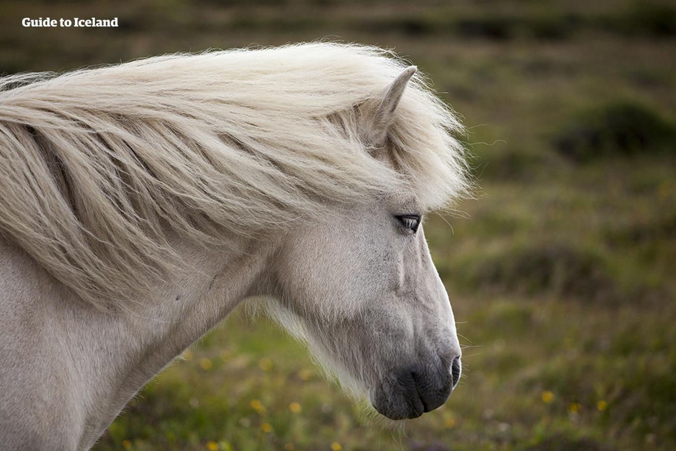 Los caballos islandeses son amigables y muy inteligentes.