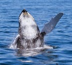 A humpback whale waves in Faxafloi Bay.