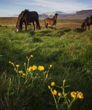 Islandzkie konie na pastwisku.