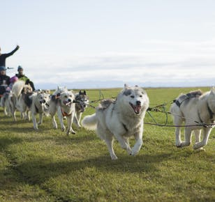 Summer Husky Dog Sled on Wheels Ride near Reykjavik | Meet on Location