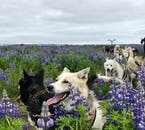 Adorable Huskies amidst blue lupine flower on a summers day in Iceland.