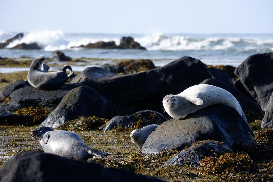 아이슬란드 바다표범 서식지 이트리툰가
