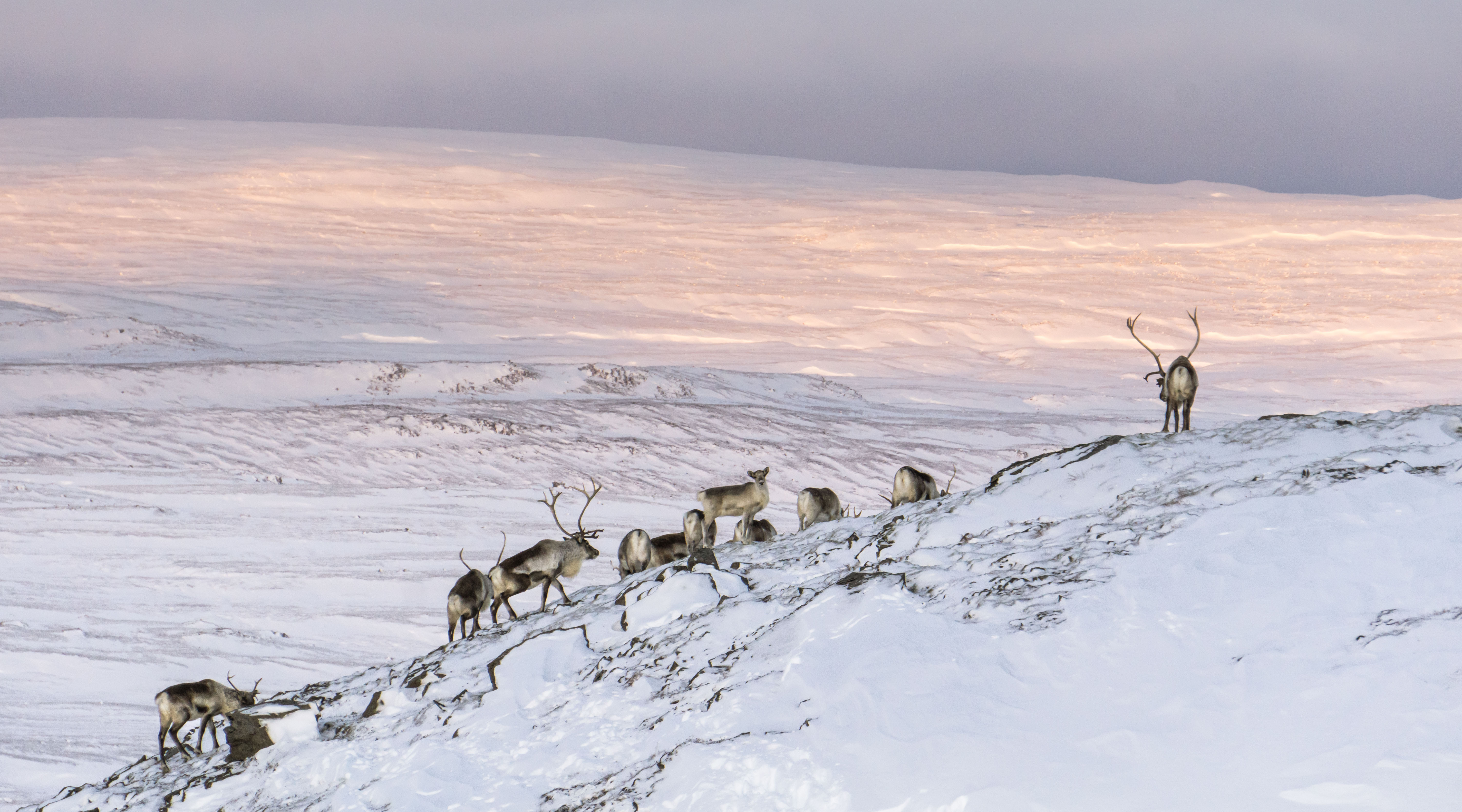 Embrace a wild reindeer experience in East Iceland.