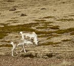 Reindeer roam wild in East Iceland and you can see them if you're lucky!
