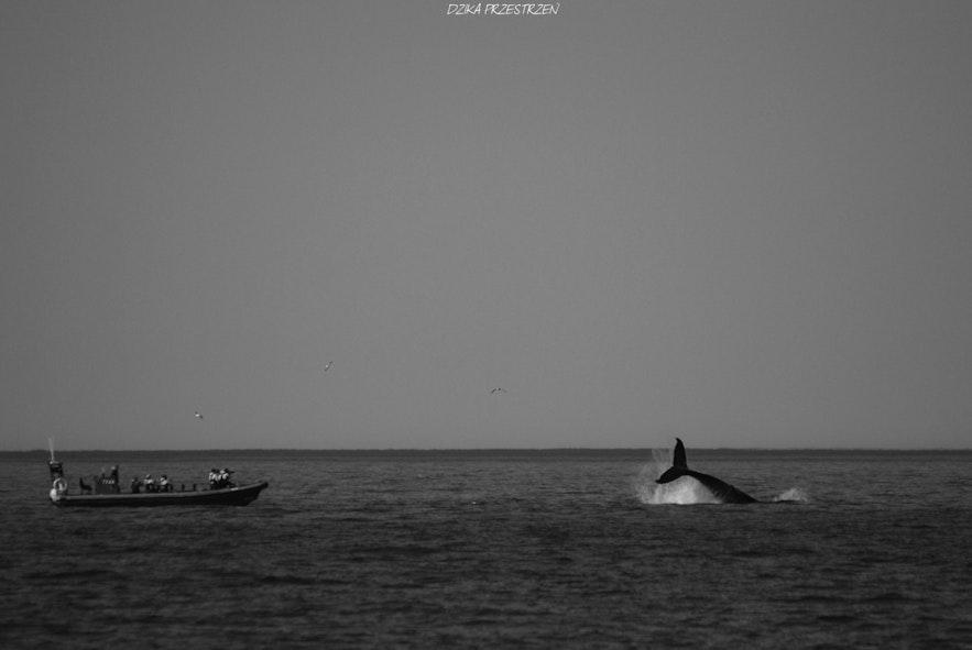 En hval vinker til publikum
