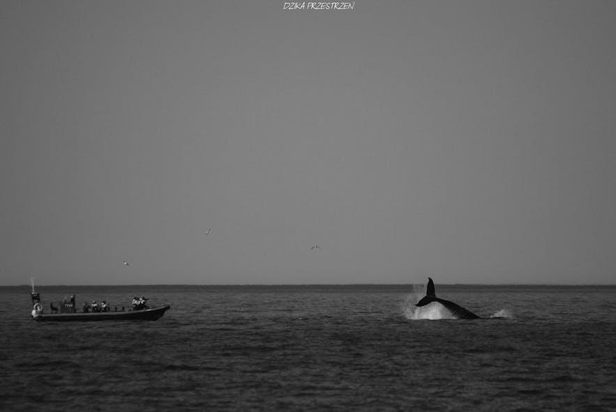 Een walvis zwaait naar zijn publiek