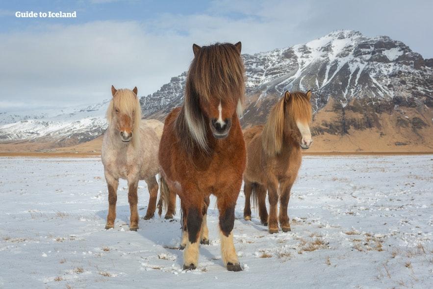 Icelandic ponies in their winter coats