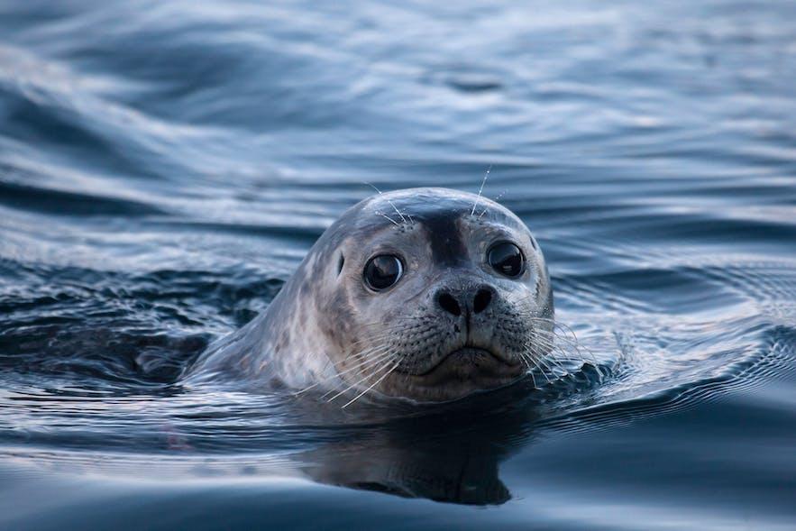 冰岛的海豹可能在皮划艇之旅中出现