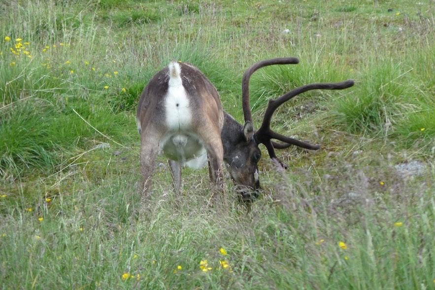 아이슬란드 동부 사슴