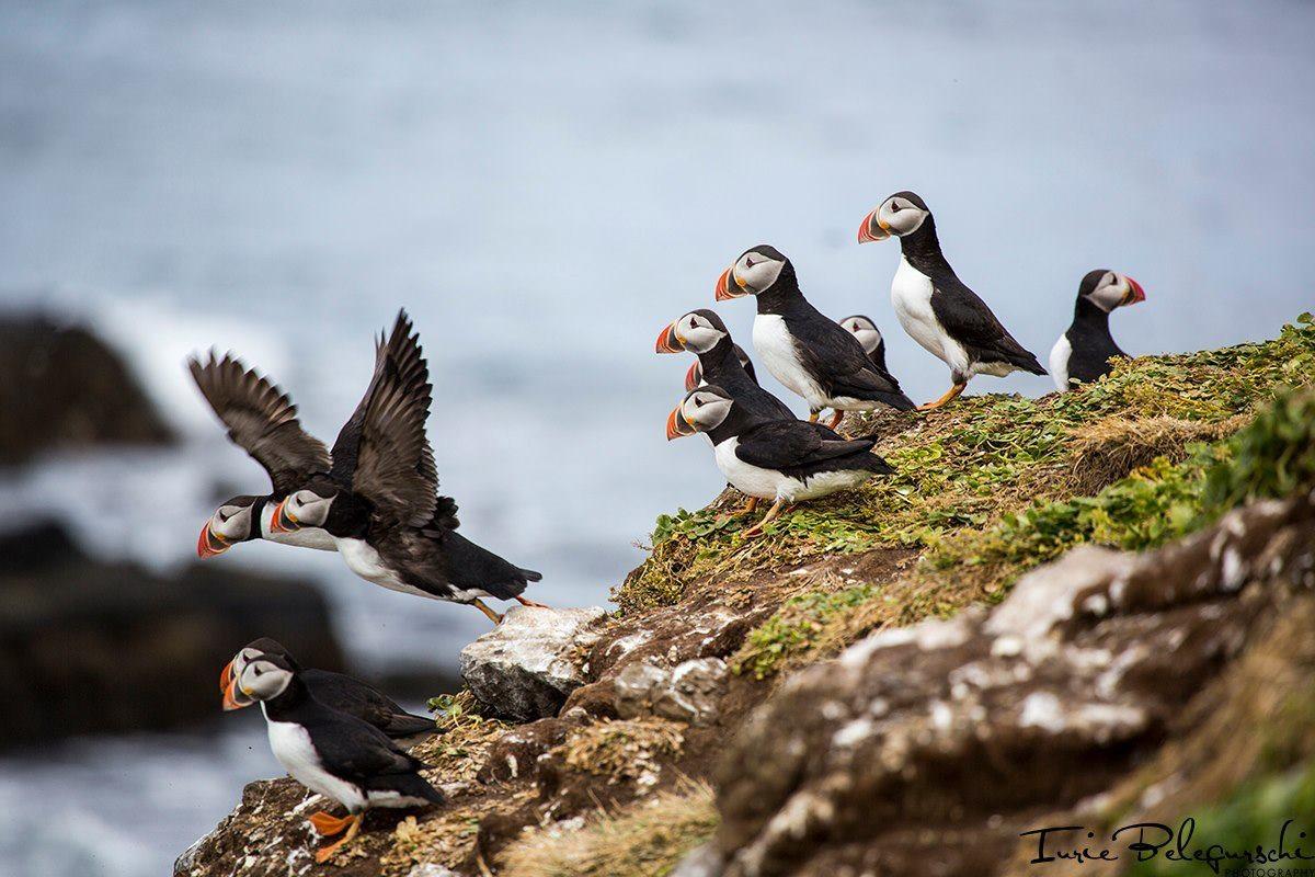冰岛海鹦鸟puffin