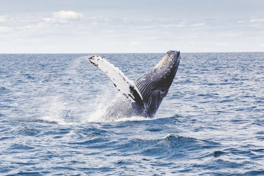 在冰島出海觀景看鯨魚