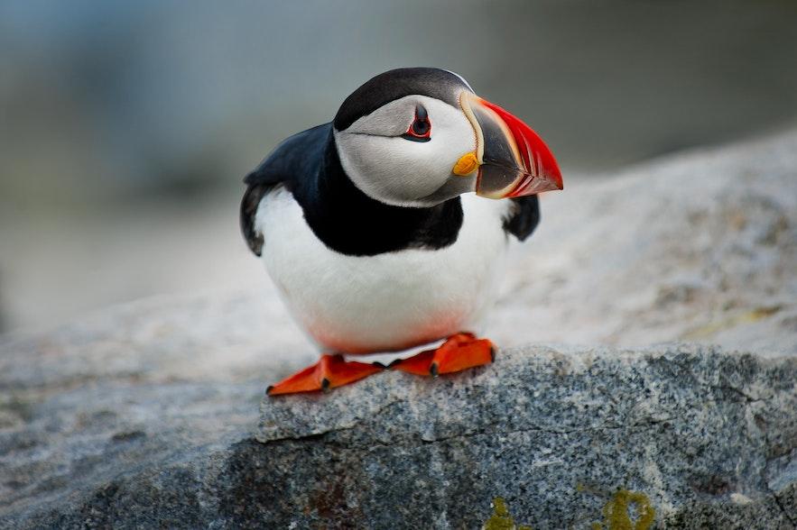 只有夏天時才可以在冰島看到Puffin