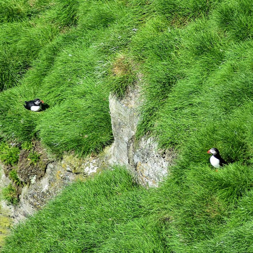 Papageientaucher in den Klippen von Stórhöfdi / Westmännerinseln.