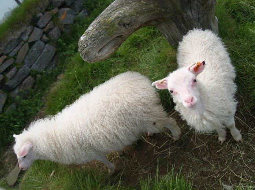 Isländska lamm strövar fritt på landsbygden