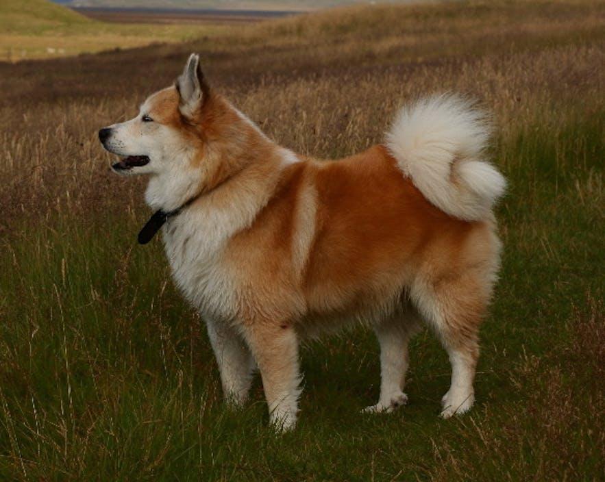 Ein Islandhund. Foto von Árni Einarsson