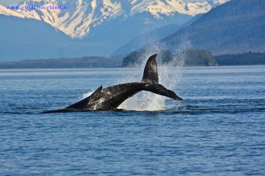 In Island gibt es über 20 Arten von Walen, Delfinen und Tümmlern.