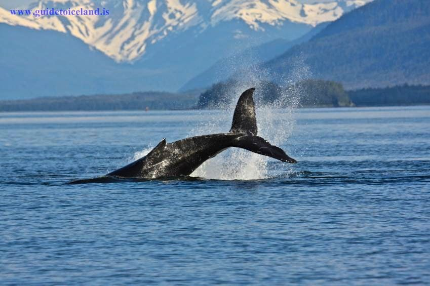 Iceland has over 20 species of whale, dolphin and porpoise.