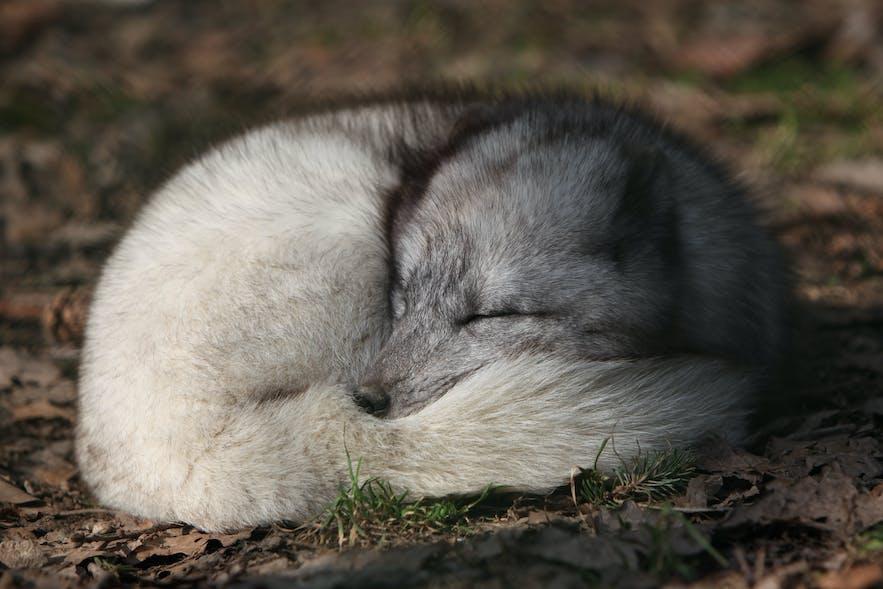 Arctic fox curling up