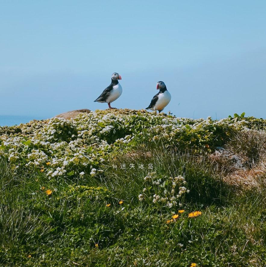 在小岛上可以和海鹦近距离接触