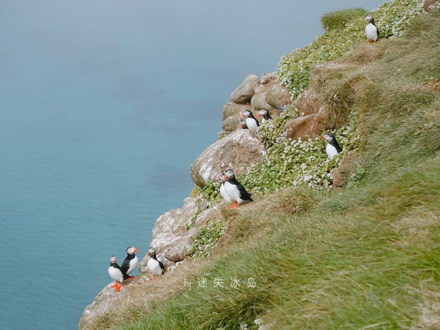 海鹦大多聚集在悬崖上,看puffin要注意安全