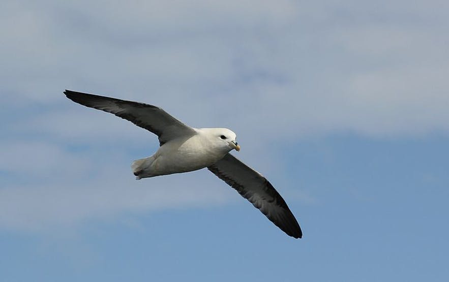 Northern Fulmar look like seagulls, but there are several key distinctions.