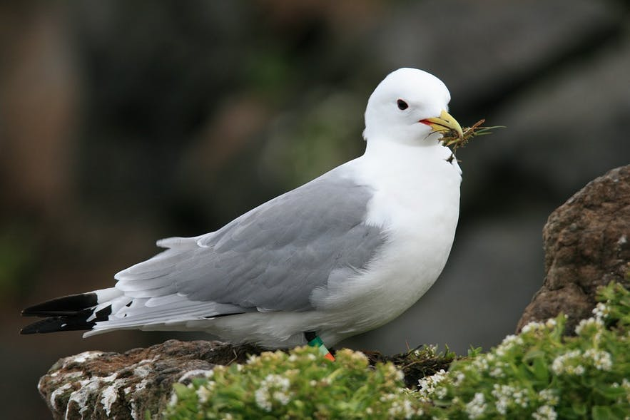 A Northern Fulmar, one of the most common birds in Iceland, particularly in winter.