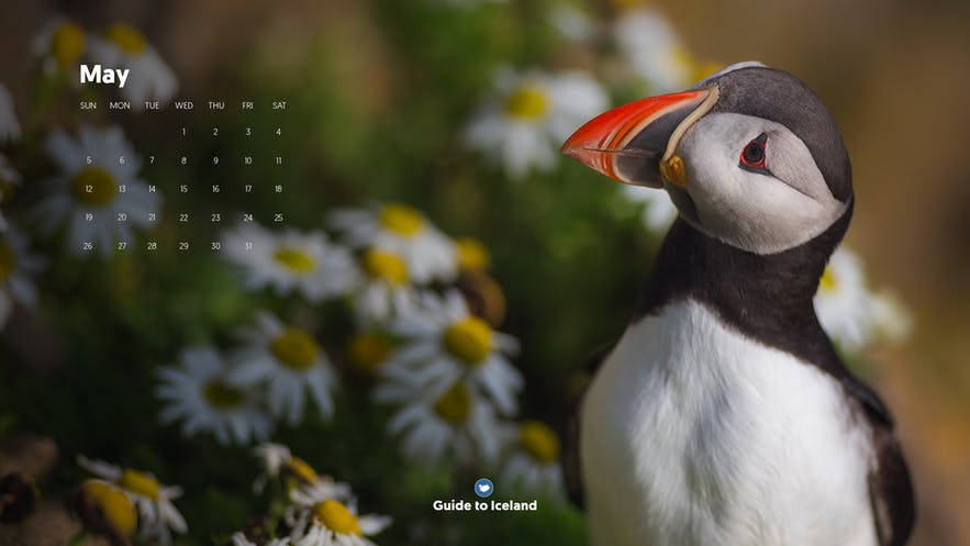 The Puffin is the most well-known bird in Iceland.