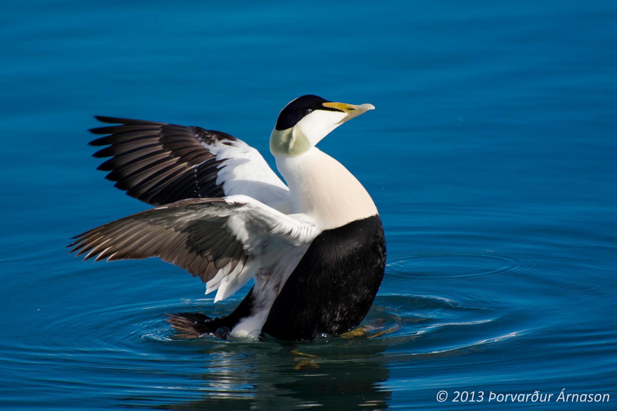 冰岛的Eider鸟