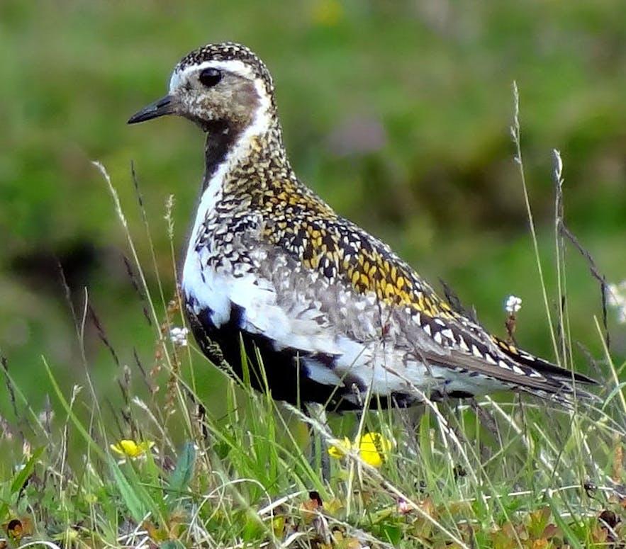 为冰岛报春的金鸻鸟