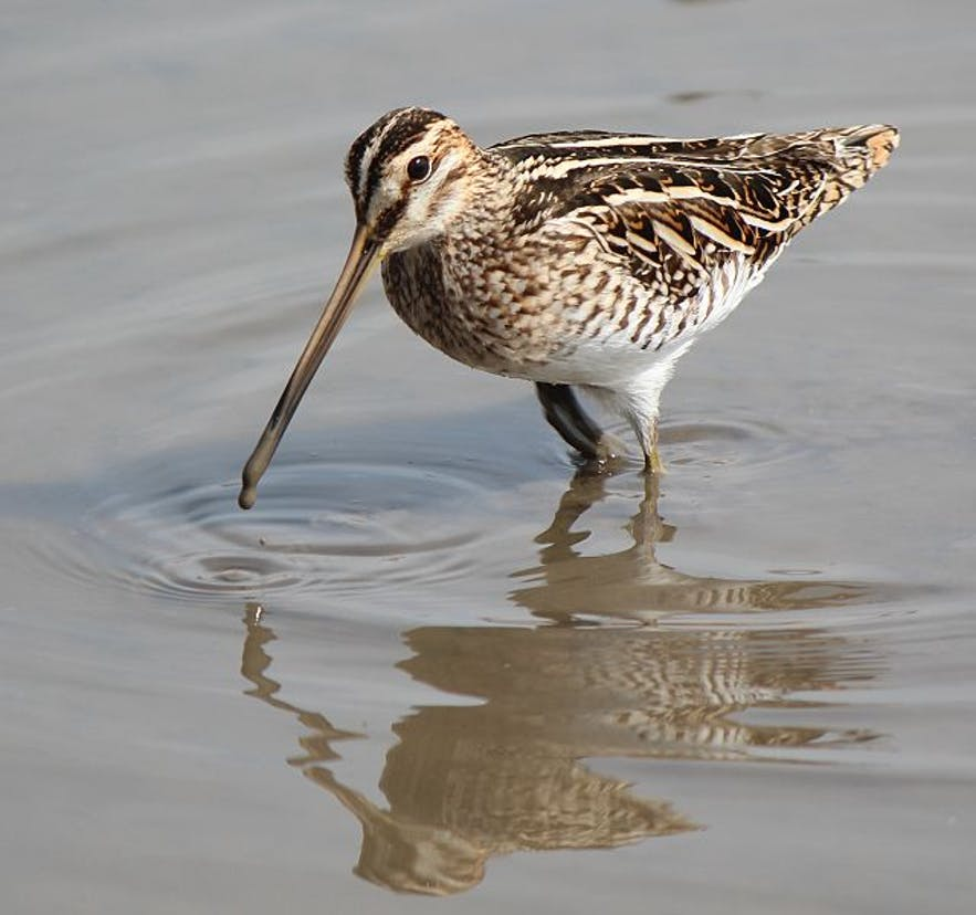 Snipes are wading birds and thus prefer Iceland's wetlands.