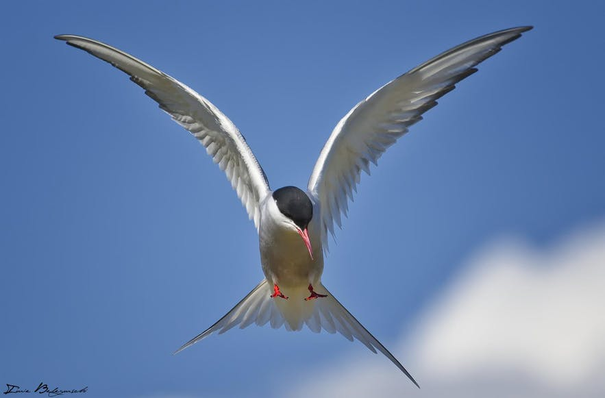 Arctic Tern swooping through the sky in Iceland