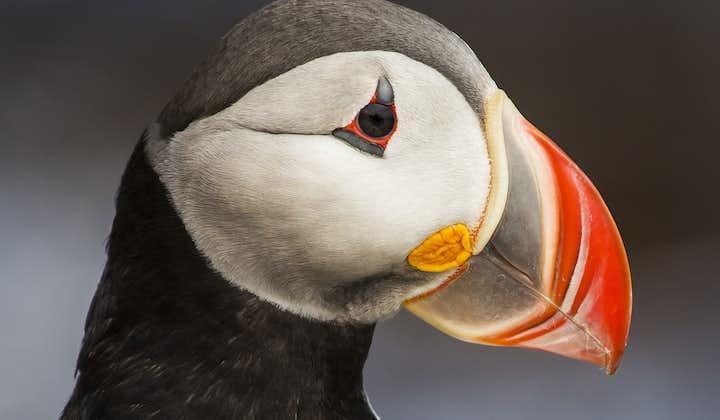 Birdwatching day tour: Húsavík & Flatey