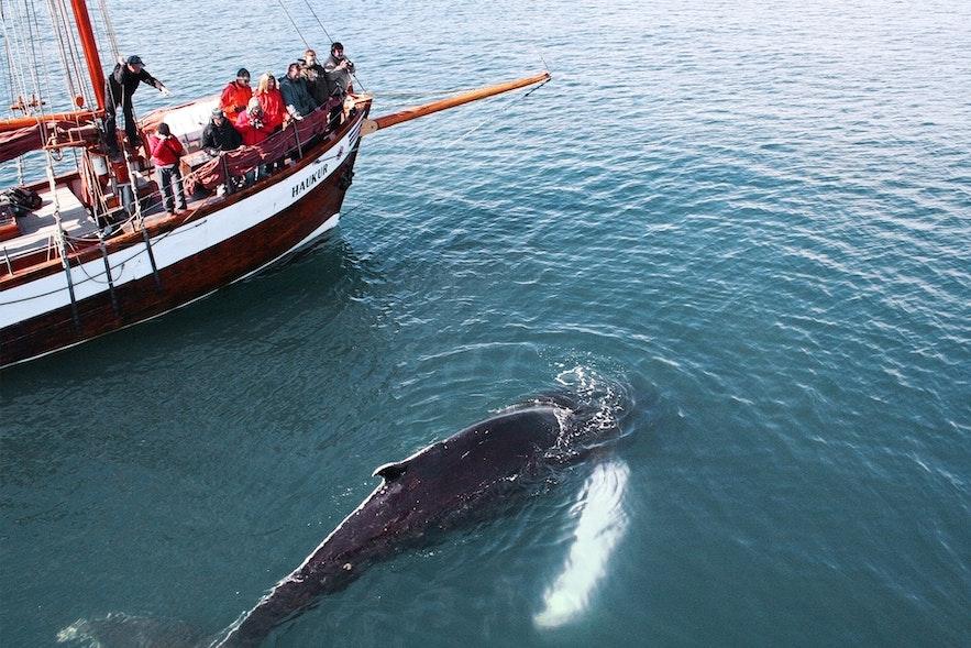 冰島胡薩維克觀鯨小鎮