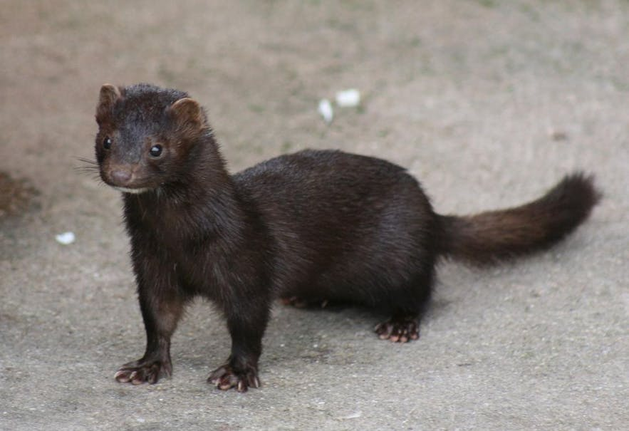 The mink was introduced to Iceland in 1931 and is officially recognised today as a pest because it threatens natural flora and fauna.