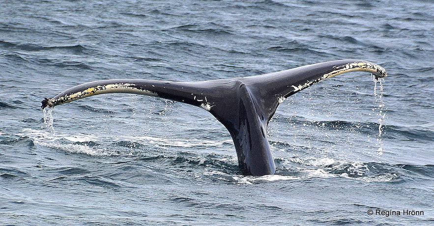 Whale watching in Hólmavík Strandir