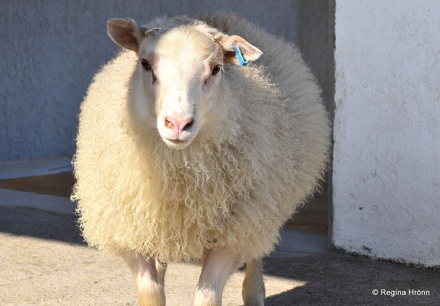 A bottle fed lamb at Strandir