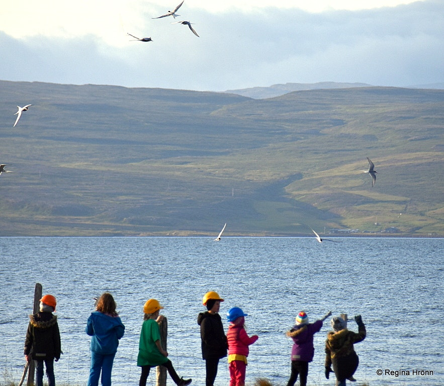 Icelandic children protecting themselves from the Arctic tern at Strandir