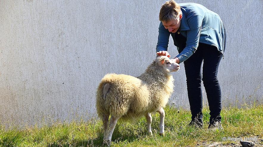 The bottle lamb at the Sheep Farming Museum at Strandir