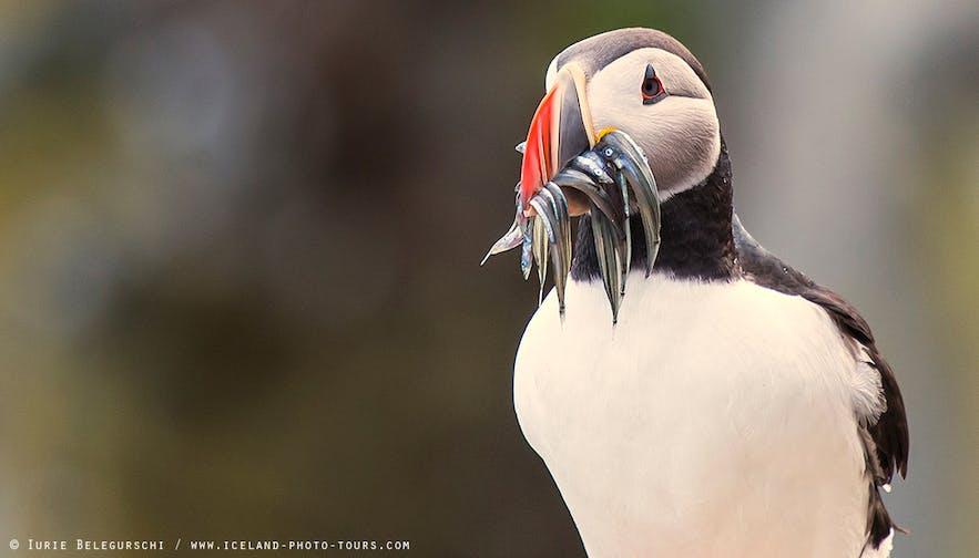 Puffin冰岛海鹦