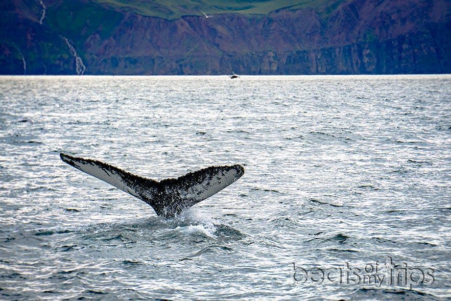 Una cola de ballena jorobada dejando un barco entero mudo