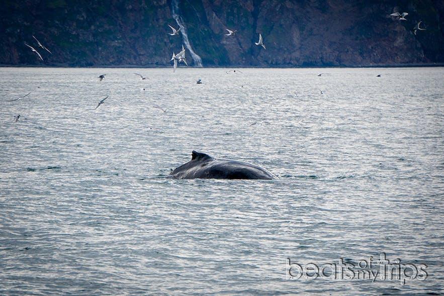 Golondrinas Árticas o Artic Tern rapiñeando las sobras de la ballena Jorobada
