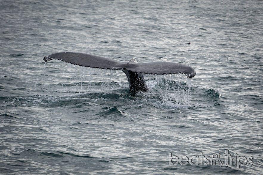 Cola de ballena Jorobada en Husavik con Frailecillo detrás de ella (bolita negra sobre el mar)