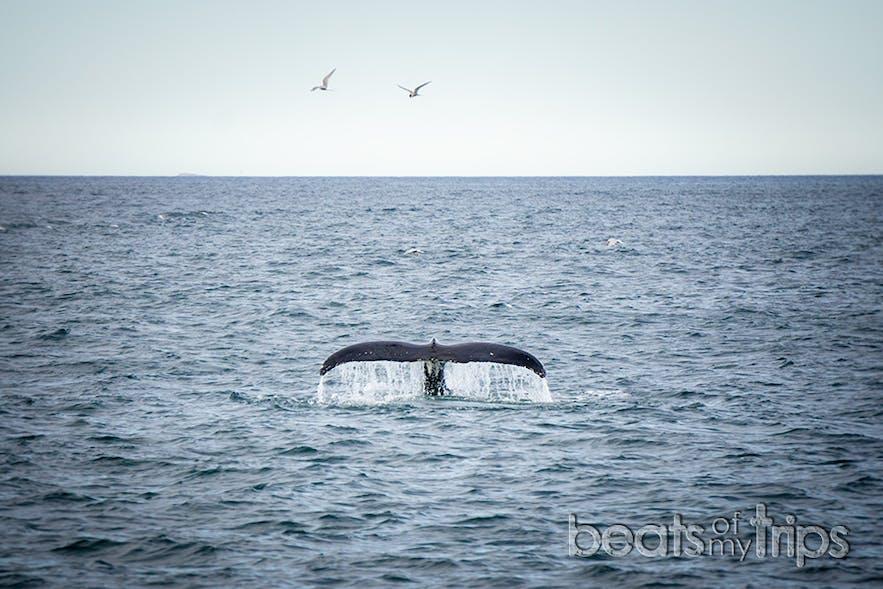 Una ballena Jorobada surmergiendose en las aguas de la bahía Skjálfandi buscando su merienda