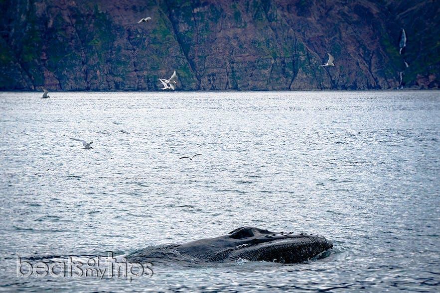 Ballena Jorobada emergiendo y enseñándonos sus espiráculos en la bahía de Skjálfandi
