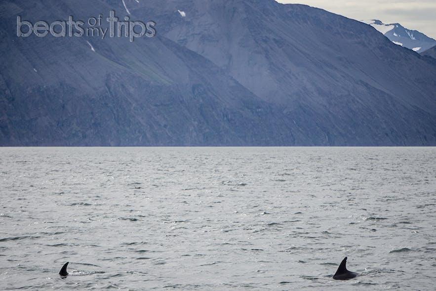 Delfines de pico blanco danzando por el mar de Groenlandia