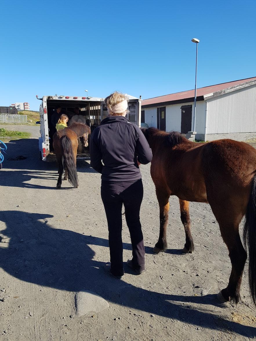 Verladen der Pferde in Hafnarfjördur.
