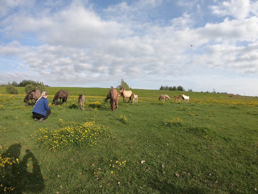 Islandpferde mit Fohlen.