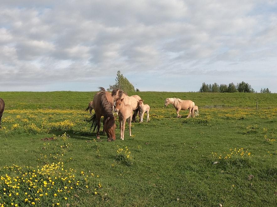 Stute mit Fohlen auf Weide in Island.