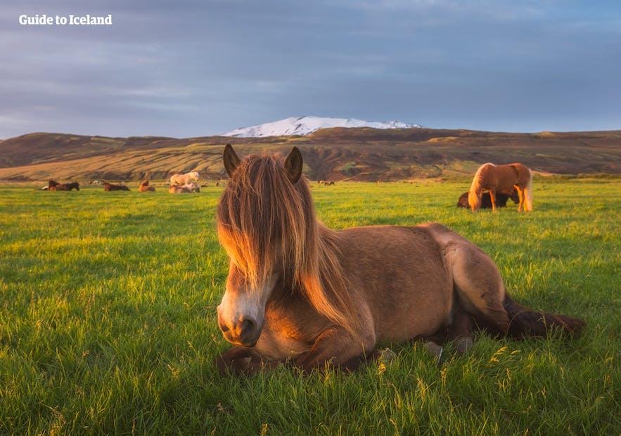 도로옆 초원에서 노니는 아이슬란드 토종말을 본다면, 갓길에 안전하게 정차시킨 후 가까이 다가가보세요!