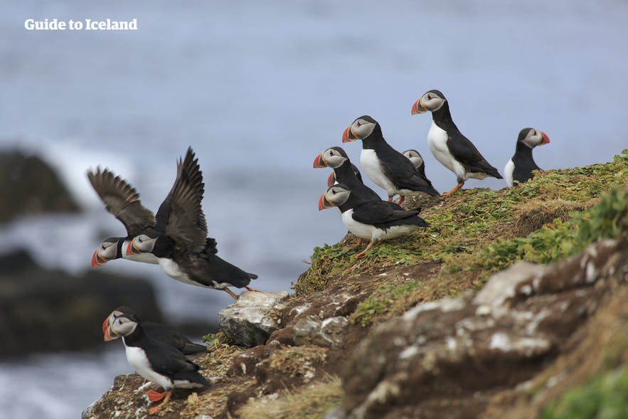 Puffins Taking Flight on Drangey Cliff